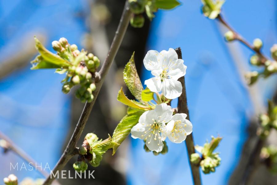 Spring Apple tree flowers.by Masha Melnik